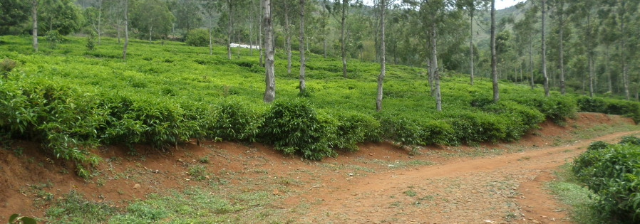 Tea estate Ooty
